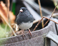 Dark-eyed Junco. Image taken with a Nikon D850 camera and 600 mm f/4 VR lens.