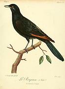 Male roupenne from the Book Histoire naturelle des oiseaux d'Afrique [Natural History of birds of Africa] Volume 2, by Le Vaillant, François, 1753-1824; Publish in Paris by Chez J.J. Fuchs, libraire 1799