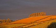 Beech trees, fagus sylvatica, copse on hill glowing in early morning light, Devon