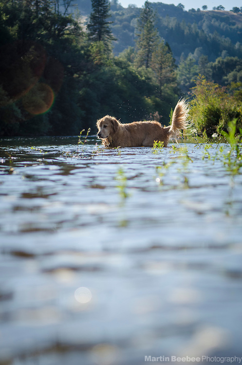 Dog (golden retriever), South Fork American River, near Lotus, California