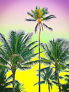 Palms waving against a tropical yellow, chartreuse and soft magenta postcard sky in a slightly pastel rendering with Photshop-adjusted colors reminiscent of vintage, 1940s,  airbrush-colored postcards of Miami Beach