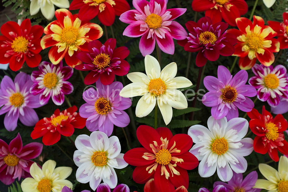 A bowl of dahlias on show at the annual Harrogate Autumn flower show on 16th September 2016 in North Yorkshire, United Kingdom.