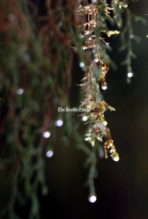 Rain drops are slowly released from plants that act like sponges.  The plants can only absorb so much water, and when saturated, drops of water fall. (Alan Berner / The Seattle Times)