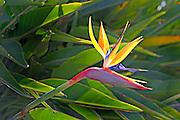 Bird of Paradise Silhoutte