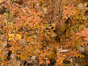 close up of a bush with autumn leaves
