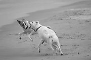 2 playful dogs playing and fighting on a beach in black and white