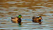 Mallard (Anas plathyrhynchos) pair at Baskett Slough National Wildlife Refuge.