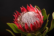 King protea, Tropical Flower