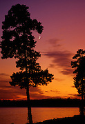 Crescent moon and Pine trees at dusk - Mississippi.