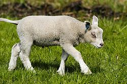 schapen, sheep, Ovis ariens