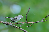 Blue-gray Gnatcatcher collecting spider webs to use in nesting.