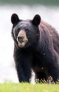 Black Bear (Ursus americanus) fills the frame.  Waterton Lakes NP, Canada