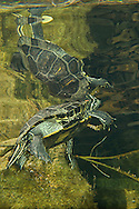 Red Eared Slider Turtle<br />