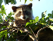 A young raccoon in a plum tree