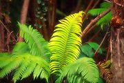 Ama'u Fern, Island of Hawaii<br />