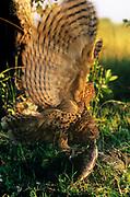 Pel's fishing owl {Scotopelia peli} feeding on fish, Okavango Delta, Botswana