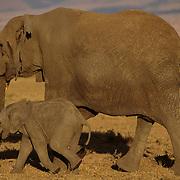 African Elephant (Loxodonta africana) mother and baby. Serengeti Plains, Masai Mara National Reserve, Kenya. Africa