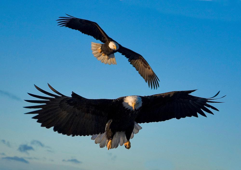 Alaska. Bald Eagles (Haliaeetus leucocephalus) approaching for a landing, Kachemak Bay.