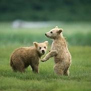 Alaska brown bear (Ursus middendorffi) cubs playing with each other. Alaska Peninsula, Alaska