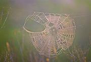Spider web and dew at sunrise - Mississippi