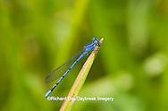 06084-001.03 Springwater Dancer damselfly (Argia plana) male in fen, Phelps Co., MO