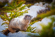 Marmot in the Enchantment Lakes area of Washington state