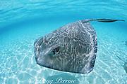 southern stingray, Hypanus americanus, formerly Dasyatis americana, Belize ( Caribbean Sea )