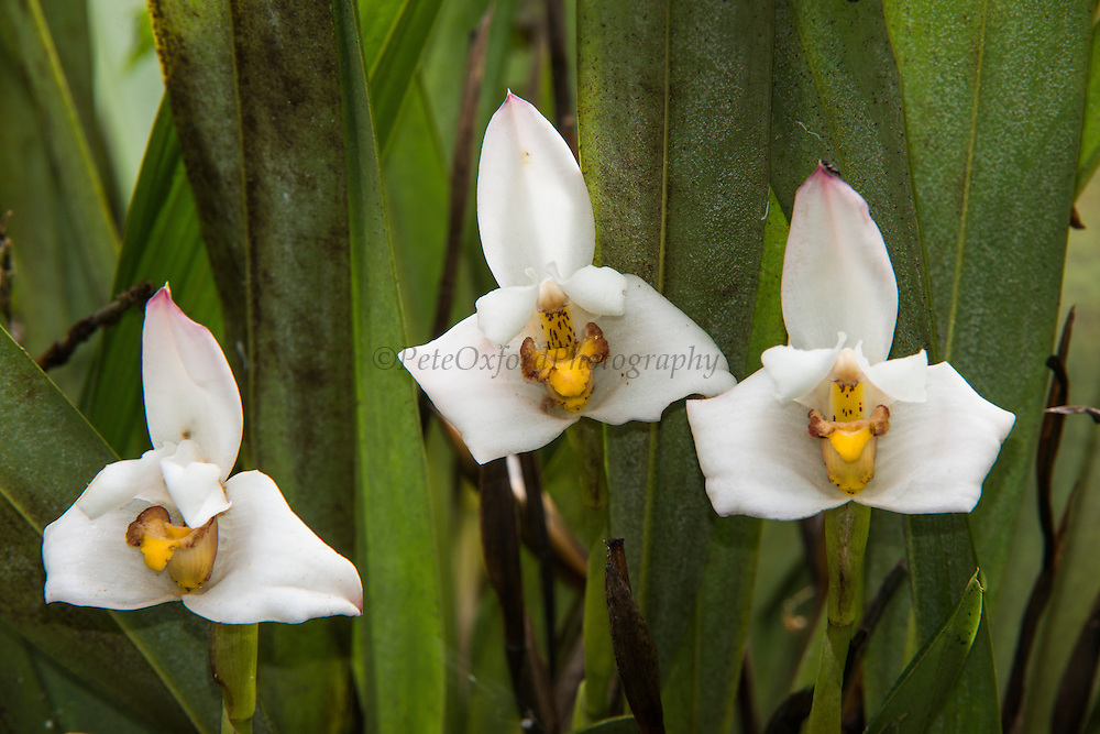 Orchid (Orchidaceae)<br /> Cayambe Coca Ecological Reserve<br /> Andes<br /> ECUADOR, South America