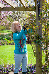 Tying in climbing roses on a pergola in spring using garden twine