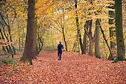 Nederland, Ubbergen, 11-11-2012Prachtige rode, oranje en gele tinten in het bos in de herfst.Foto: Flip Franssen/Hollandse Hoogte