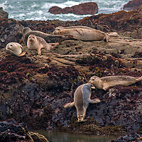 Harbor Seals (Phoca Vitulina) sleep on rocks along the Pacific Ocean coast at Bean Hollow State Beach near Pescadero, California.