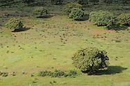 Dehesa forests with . Holm oak (Quercus ilex) in Salamanca Region, Castilla y León, Spain