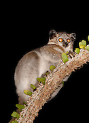 A White Footed Sportive Lemur in the Berenty Reserve, Madagascar