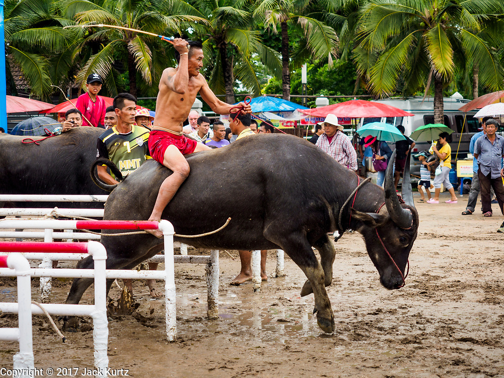 """04 OCTOBER 2017 - CHONBURI, CHONBURI, THAILAND: A """"jockey"""" on a water buffalo leaves the starting gate during buffalo races in Chonburi. Contestants race water buffalo about 100 meters down a muddy straight away. The buffalo races in Chonburi first took place in 1912 for Thai King Rama VI. Now the races have evolved into a festival that marks the end of Buddhist Lent and is held on the first full moon of the 11th lunar month (either October or November). Thousands of people come to Chonburi, about 90 minutes from Bangkok, for the races and carnival midway.   PHOTO BY JACK KURTZ"""