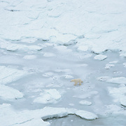 Polar bear (Ursus maritimus) on the ice of Hudson Bay. Churchill, Manittoba, Canada.