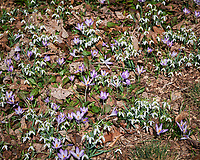 Purple Crocus and Snow Drops. Image taken with a Leica SL2 camera and 24-90 mm f/2.8-4 lens.
