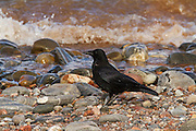 Carrion crow on Cromarty beach, with a wave breaking in the background.