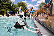 At the end of the summer Washington, DC pools close, but not before the Doggie Day Swim.  Dogs are allowed to play and frolic in the pools with no humans!
