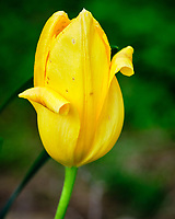 Yellow Tulip flower. Image taken with a Fuji X-T3 camera and 80 mm f/2.8 macro lens (ISO 320, 80 mm, f/5.6, 1/450 sec).