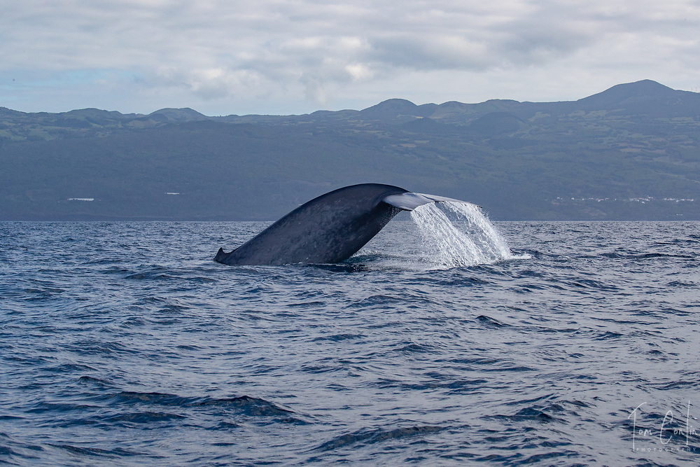 """blue whale ~ Balaenoptera musculus ~ fluking ~<br /> Pico, Azores, Portugal ~ """"This work was performed under the authorization n.0 XX-ORAC-2018 issued by the Government, on February 22, 1018"""""""