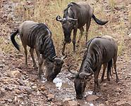 Wildebeest, Connochaetes taurinus