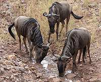 Three Wildebeests, Connochaetes taurinus, drink from a small stream in Serengeti National Park, Tanzania