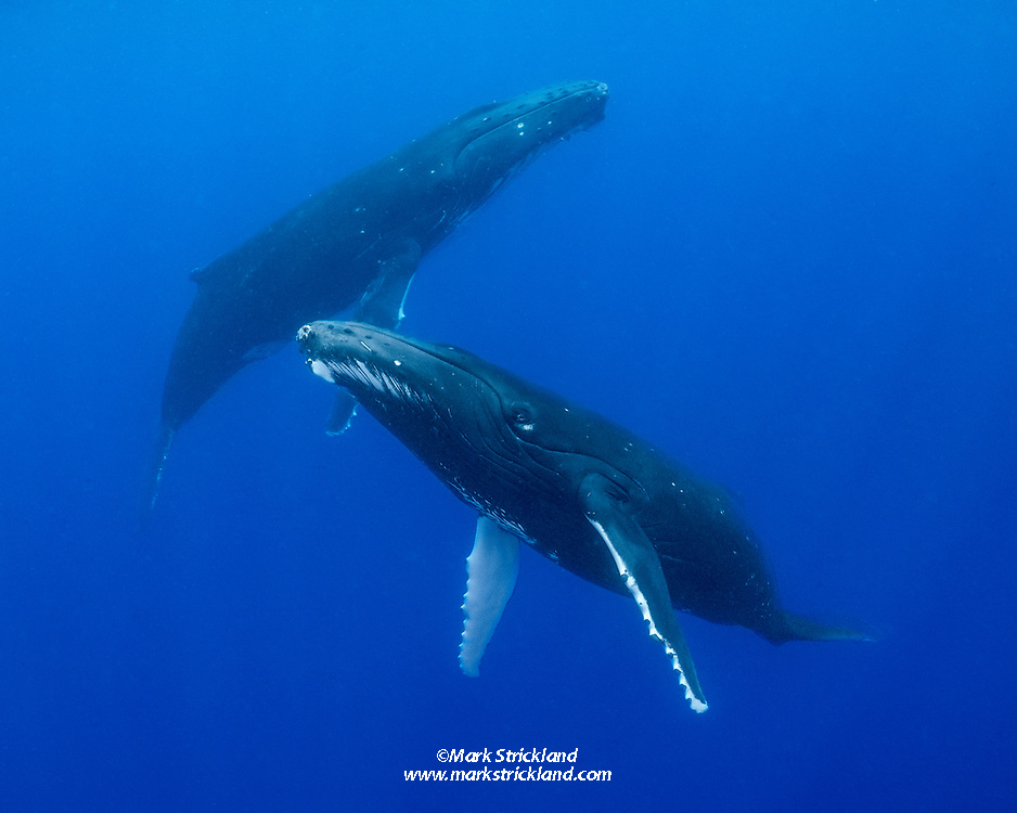 A pair of humpback whales, Megaptera novaeangliae, cavort near the surface. Moorea, French Polynesia, Pacific Ocean