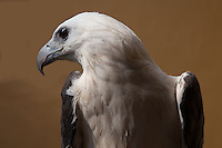 Eagles , Accipitridae are sometimes called bald eagles, white headed eagles, American eagles, fishing eagles.  Eagle vision can see up to seven times better than the human eye.  They are able to see things from very far away; this helps them spot food from up in the sky