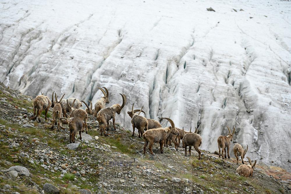 Ibex (Capra ibex) at the foot of the Gornergrat; Zermatt, Valais, Switzerland / <br /> <br />  Ibex (Capra ibex) at the foot of the Gornergrat with the Gorner Glacier in the background; Zermatt, Valais, Switzerland
