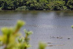 Water birds believed to be double crested cormorants rest on a log floating in the Illinois River