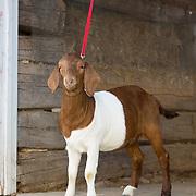 20121107 Unedited Goats