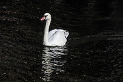 Swan in an Amsterdam canal