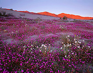 CADAB_116 - Desert sand verbena and dune evening primrose bloom on dunes with sunset on the distant Santa Rosa Mountains, Anza-Borrego Desert State Park, California, USA
