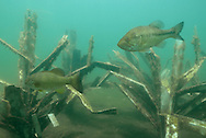 Fishiding Artificial Fish Attractors-with largemouth bass.<br /> <br /> Engbretson Underwater Photography